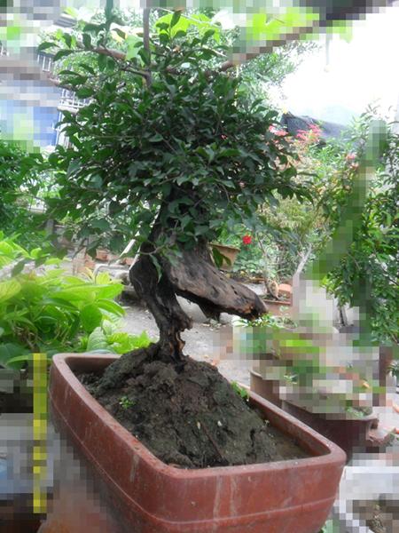 出售各种规格树木盆景(移栽5-10年以上)