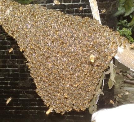 求夠中蜂蜂種