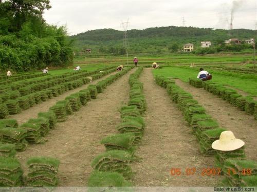 海南出售草皮