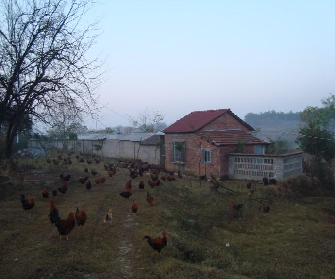 苏家湾土鸡出售