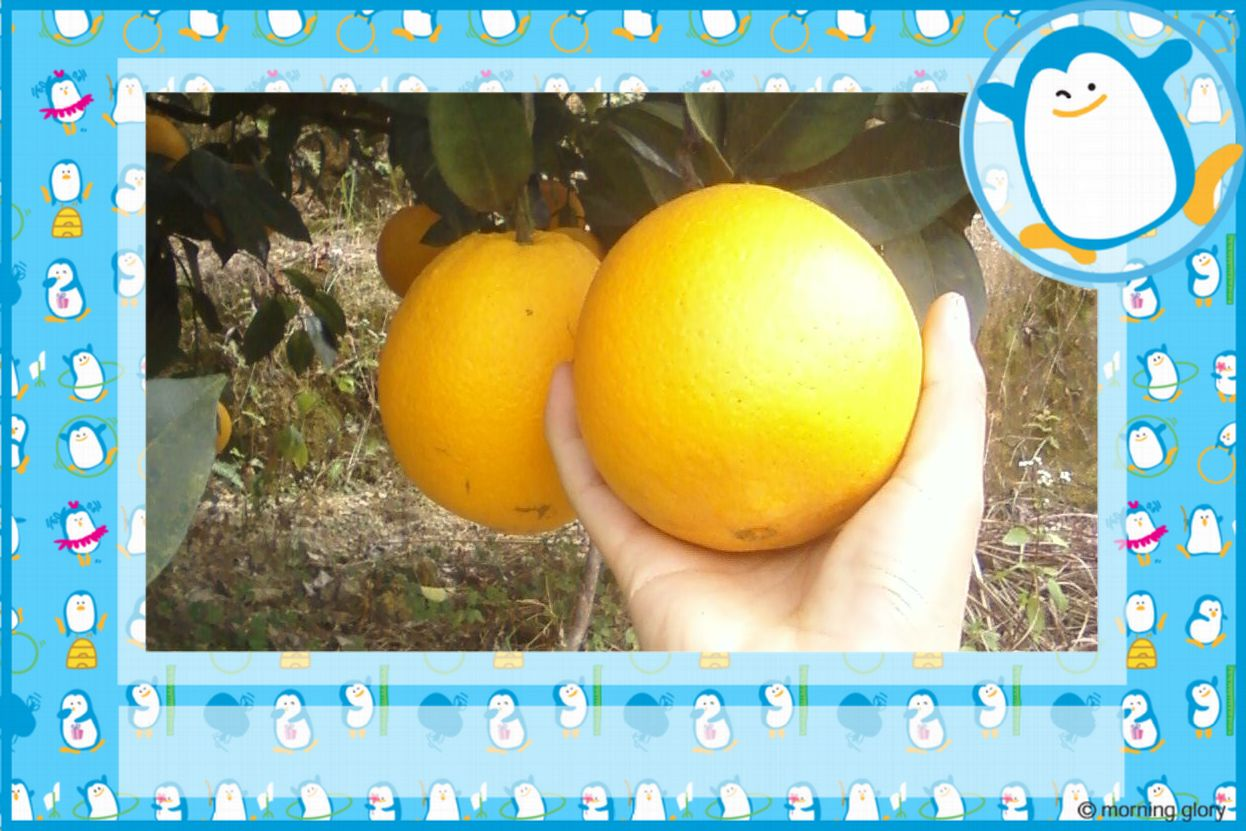 大量出售�M南�橙