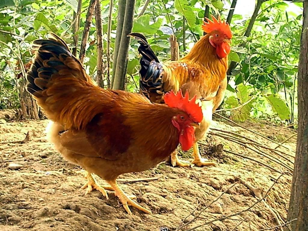 大量出售藥用白鳳烏骨雞、抵季林下土雞等