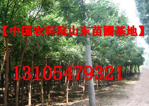 专供5-45公分国槐树