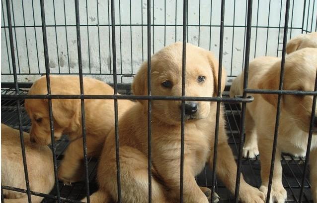 长期出售宠物狗