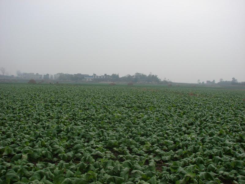 兩百余畝青菜、榨菜、大頭菜批發