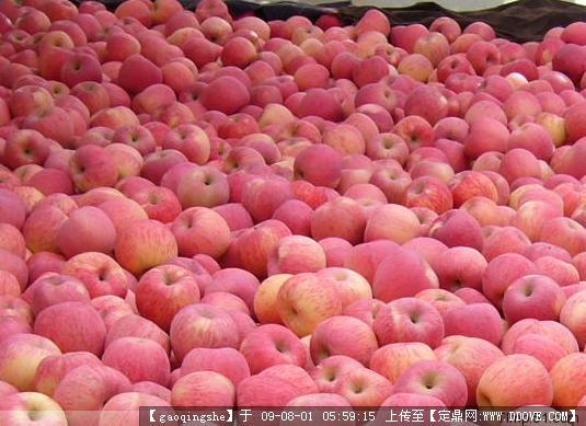 合陽縣北永寧村現有優質富士蘋果