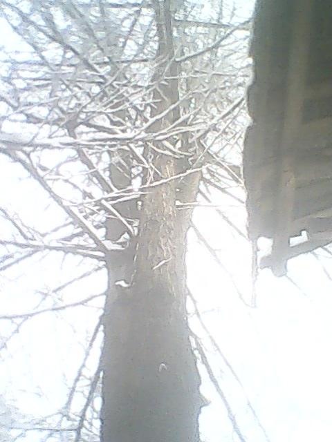 出售60年樹齡銀杏樹