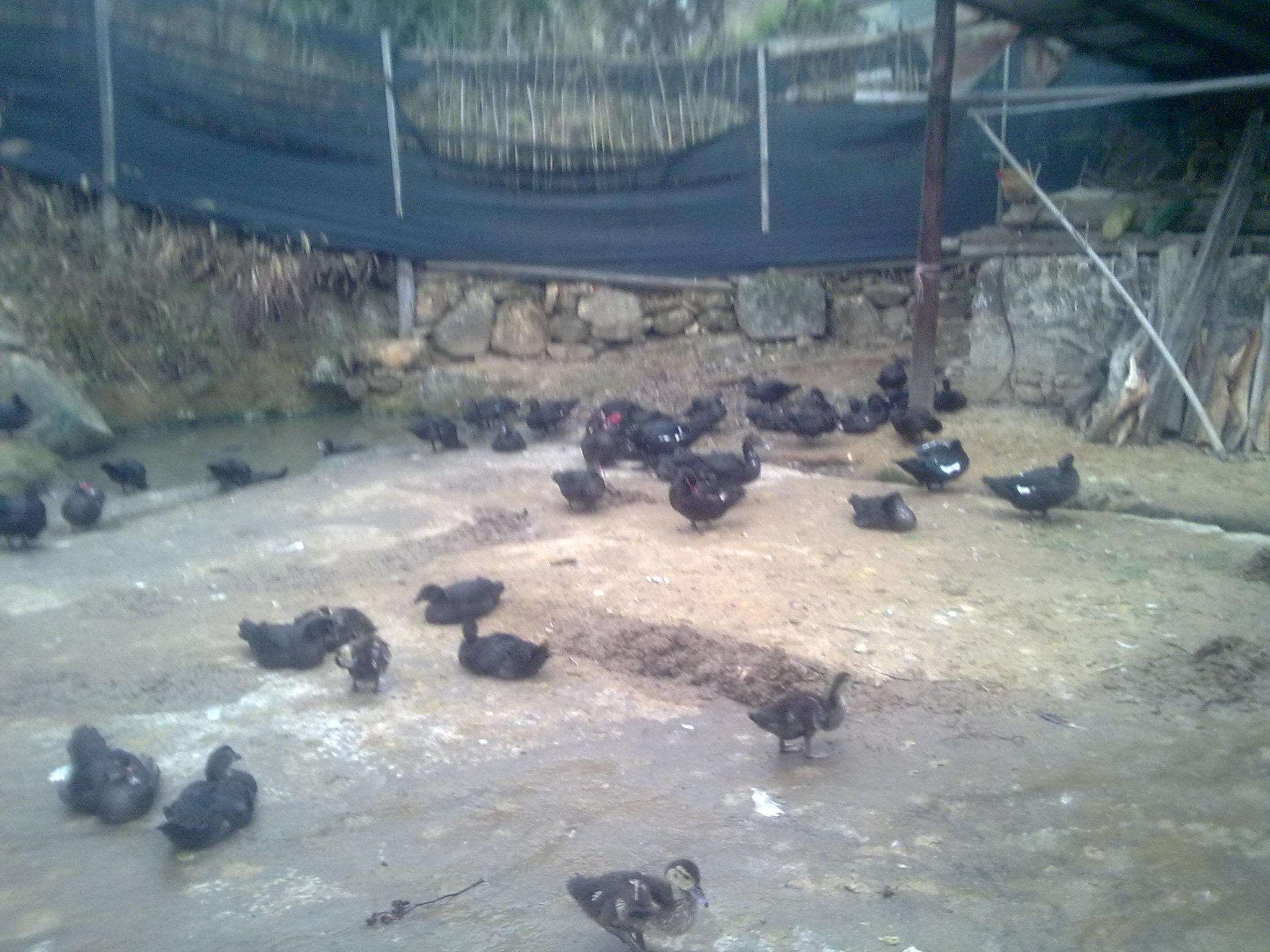 純綠色生態雞鴨,雞蛋,泥鴨蛋