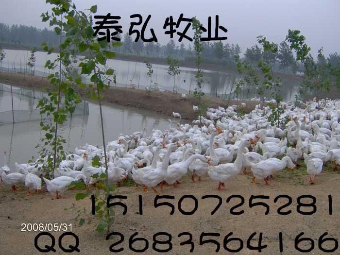 成品鹅价格,现在鹅苗价格行情,鹅苗