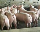 13863366774出售優良仔豬母豬