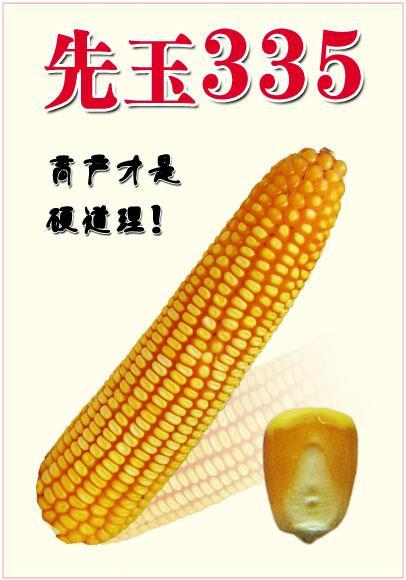 先玉336 335 玉米種子出售 (黎城范圍)