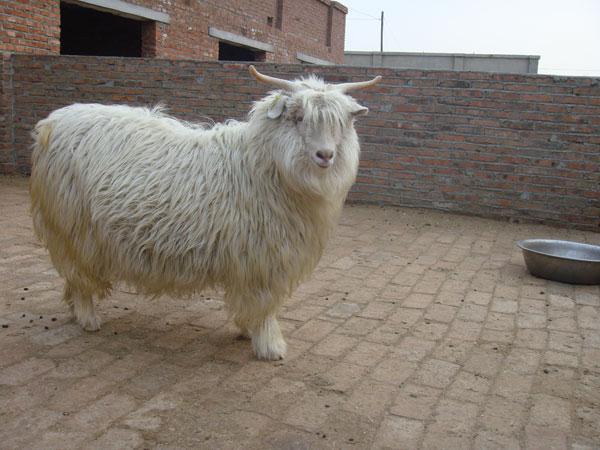 出售遼寧絨山羊15640787888