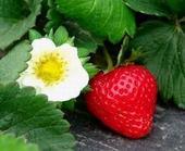杨村乡何庄草莓采摘园