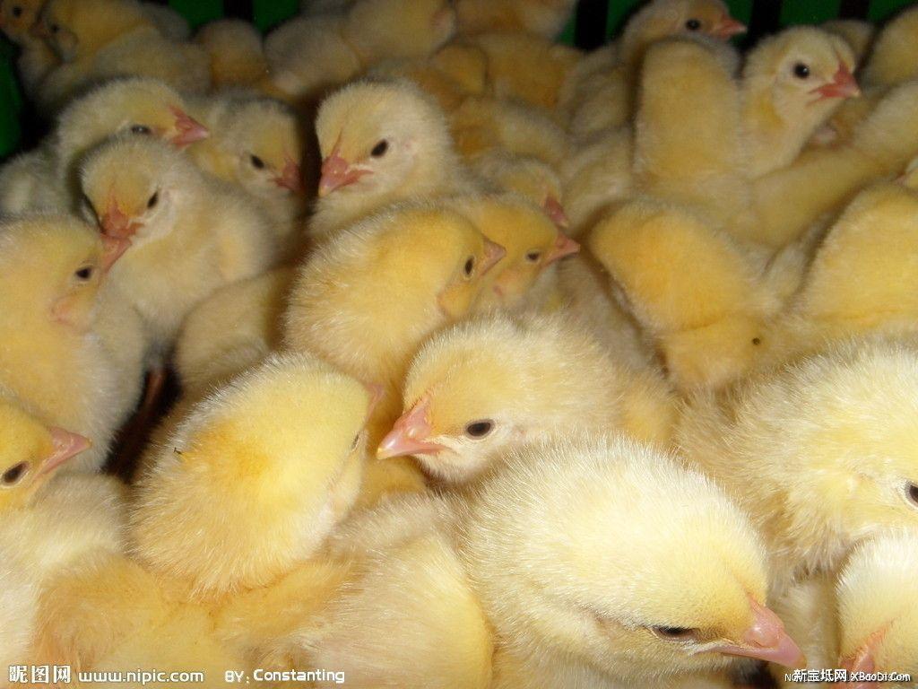 召小鸡销售 人员