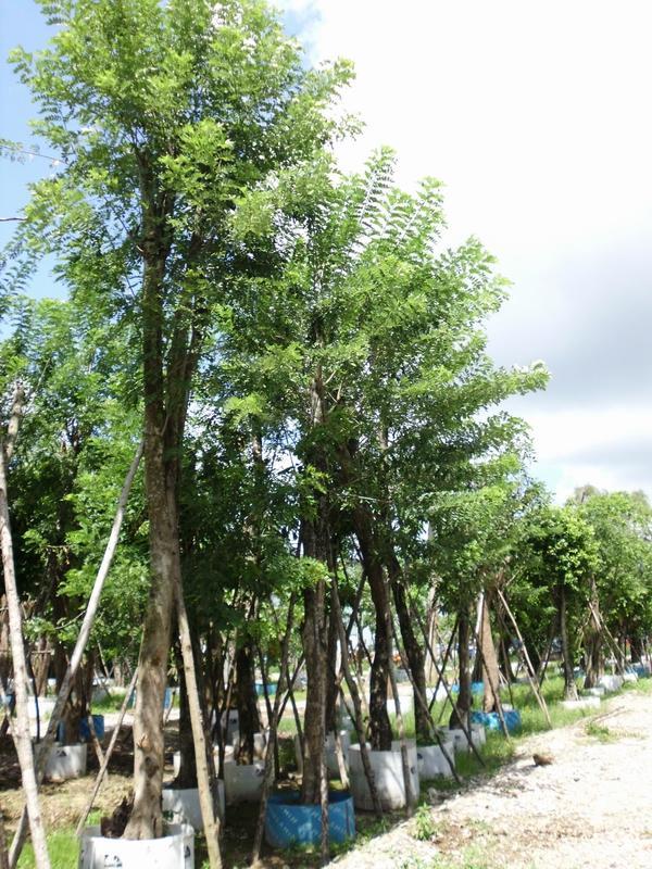 壁纸 树 榕树 600_800 竖版 竖屏 手机