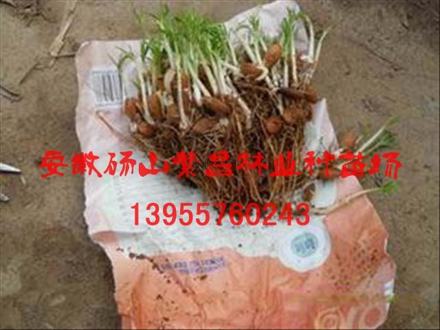 出售繁昌毛桃芽、毛桃苗13955760243