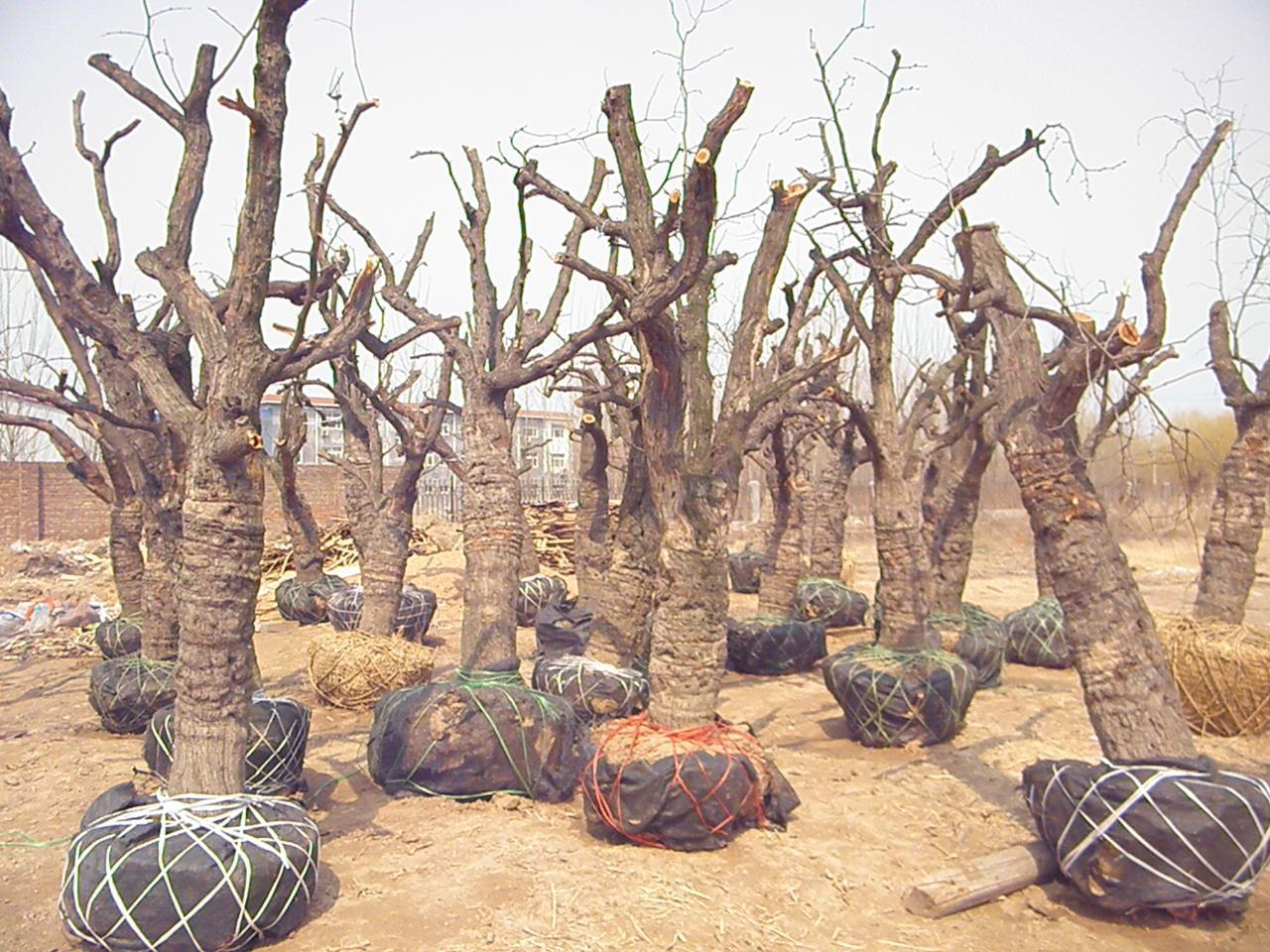 枣树木材家具图片