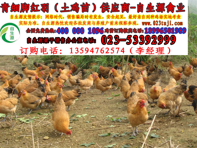 梁山土雞養殖幫你萬元增收