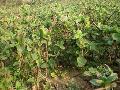 提供金银花种植种苗及金银花原花