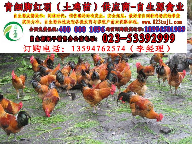 訂購自生源禽業青腳土雞苗品質保證