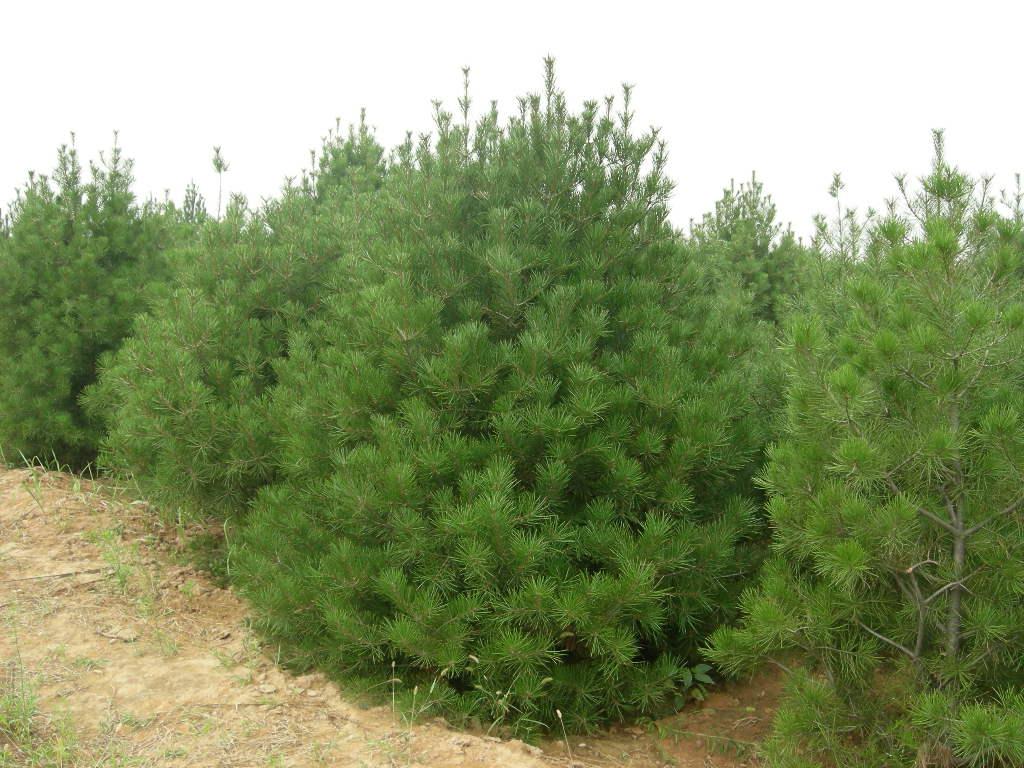 出售各類松樹