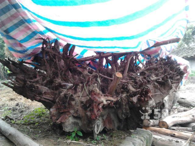 适合根雕百年荔枝大块树根出售