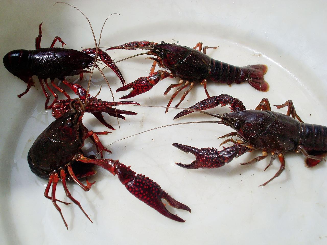 大量收購龍蝦
