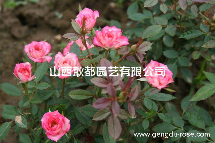 河津月季,河津玫瑰批發(苗木 盆栽)