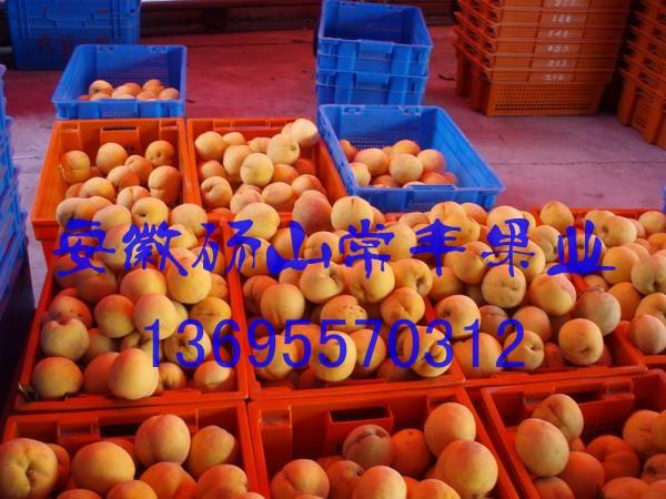 砀山黄桃产地大量直供优质金童5号黄桃