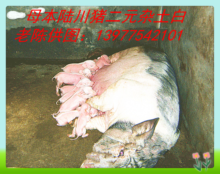 广西陆川种猪交易场