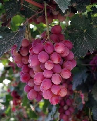 大量紅提葡萄銷售