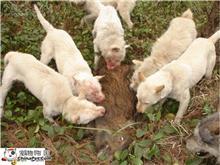 杨三元下司猎犬