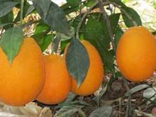 奉节永乐脐橙
