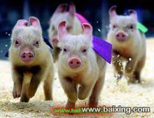 现代化猪场招商